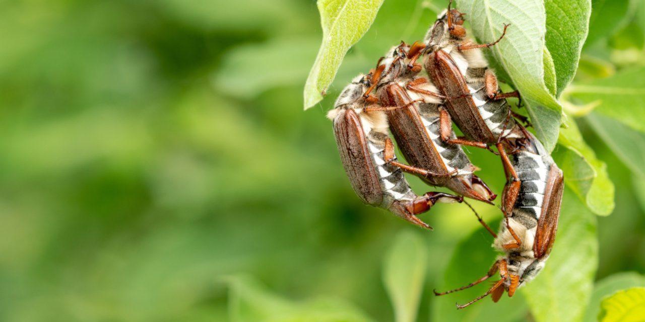 Geschlechtsorgane: Gruppe von Maikäfern während der Paarungszeit auf einem grünen Blatt