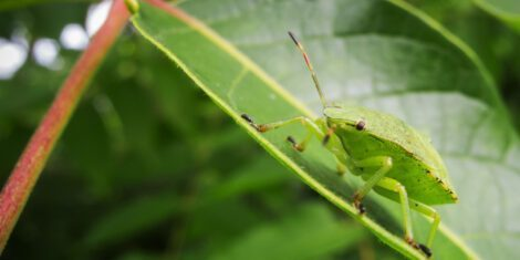 Grüne Stinkwanze (lat: Palomena prasina) auf einem Blatt sitzend