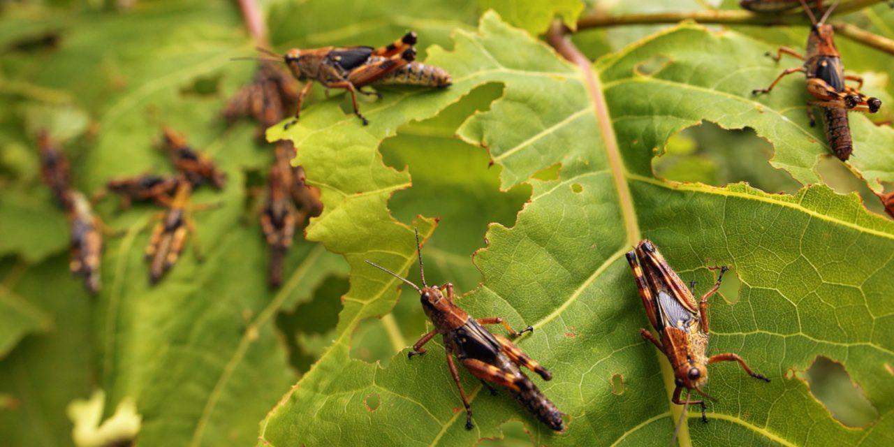 Hungrige Heuschrecken fressen die Blätter einer Pflanze