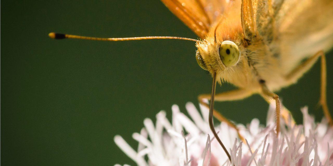 Kaisermantel auf einer Blüte