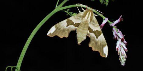 Lindenschwärmer ruht sich auf einer Pflanze aus