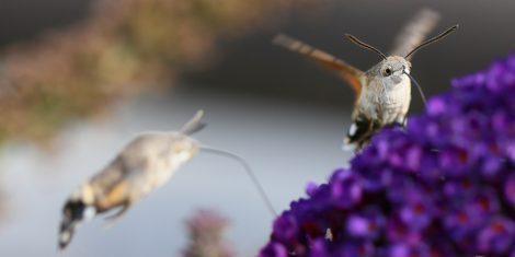 Schwärmer: Zwei Taubenschwänzchen an einer Blüte
