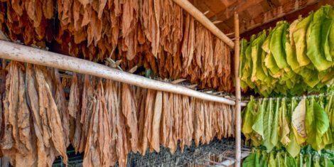 Tabakkäfer sind nicht nur bedeutende Schädlinge an Tabakprodukten, sondern auch an vielen anderen lagernden Lebensmitteln