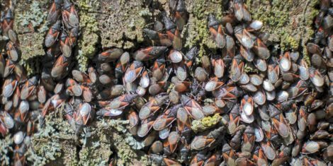 Wanzen: Aggregation von Lindenwanzen an einem Lindenstamm