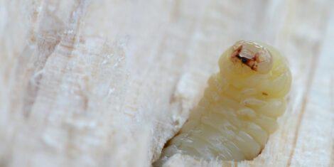 Gemeiner Nagekäfer: Larve schaut aus einem Stück Holz
