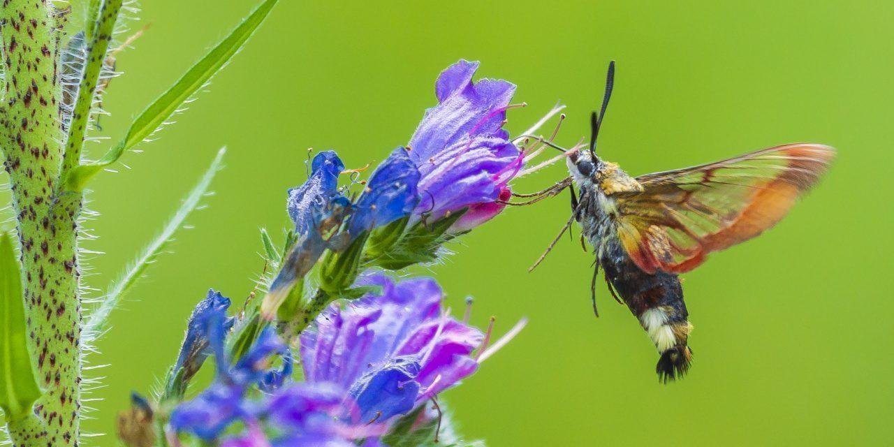 Hummelschwärmer ernährt sich vom Nektar einer lila Blüte