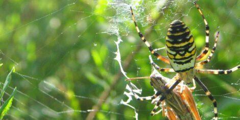 Kurzfühlerschrecken werden auch von Wespenspinnen gefressen