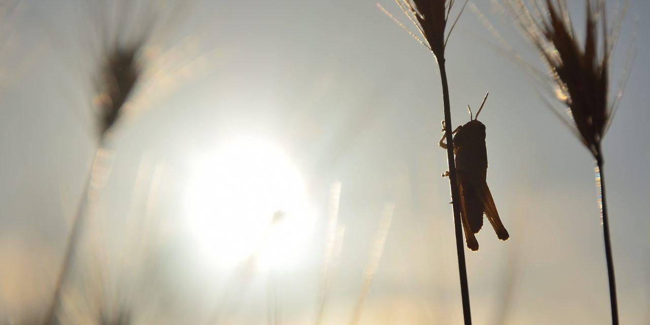 Kurzfühlerschrecke auf einem Weizenzweig bei Sonnenaufgang