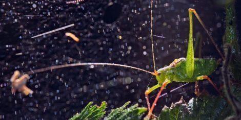 Punktierte Zartschrecke auf einem Blatt während eines Regenschauers