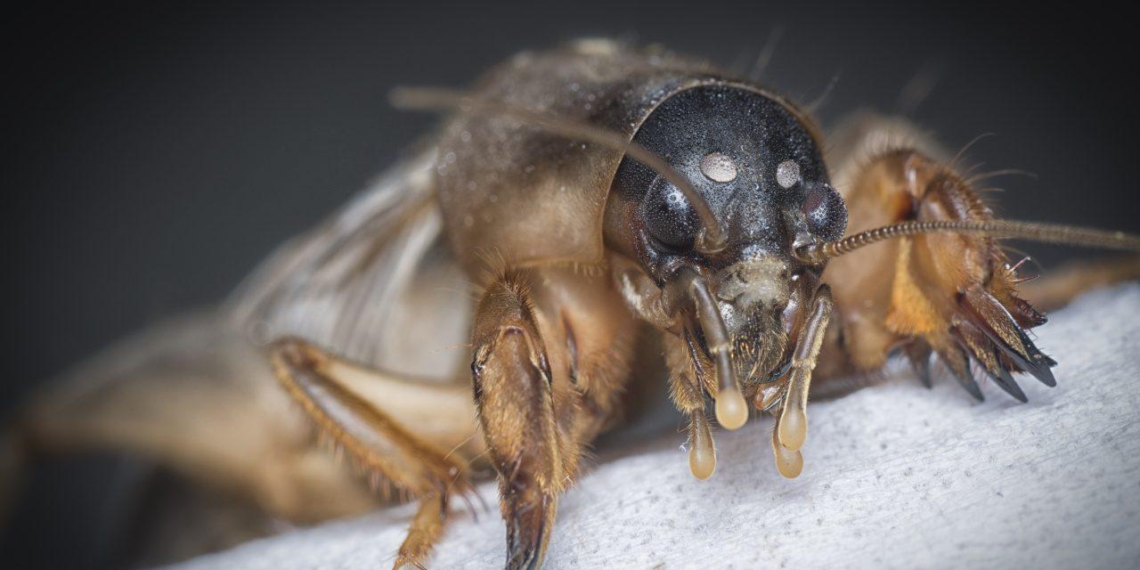 Langfühlerschrecken: Nahaufnahme einer Maulswurfsgrille