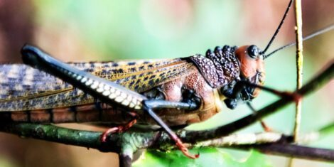 Südamerikanische Riesenheuschrecke auf einem Zweig