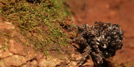 Eine Nymphe der Staubwanze mit den Überresten von Ameisen, die zur Tarnung verwendet werden.