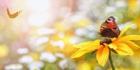 Tagpfauenauge auf einer gelbem Blüte