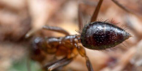 Abdomen einer kleinen Ameise auf einem grünen Blatt