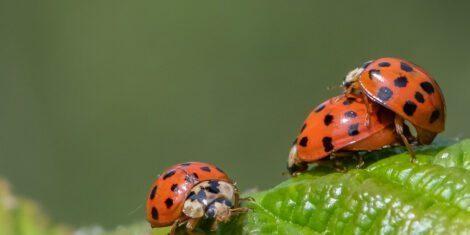 Asiatischer Marienkäfer bei der Paarung