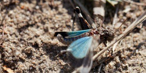 Blauflügelige Ödlandschrecke auf dem Sprung