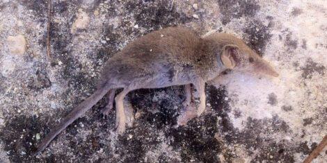 Eine tote Etruskerspitzmaus