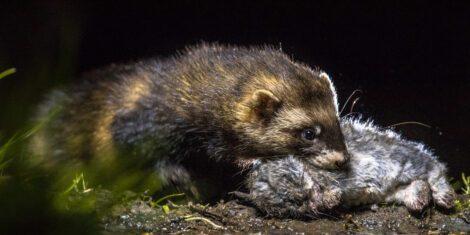 Europäischer Iltis mit einem jungen Wildkaninchen als Beute.