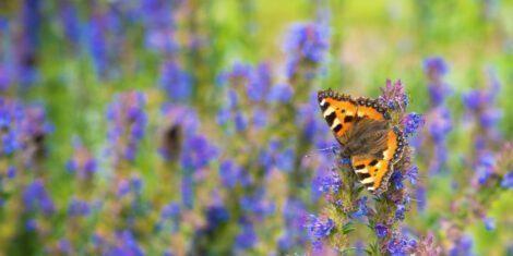 Kleiner Fuchs auf einem Feld des blühenden Ysop.
