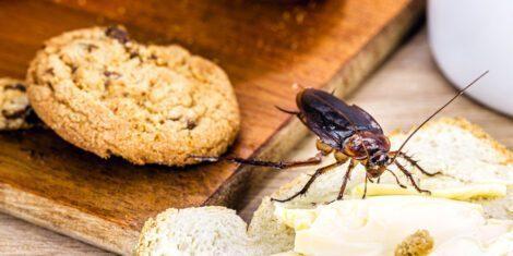 Schabe krabbelt auf Essen, welches auf einem Tisch liegt.