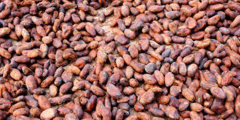 Speichermotten sind in Kakaobohnenlagern ein besonders gefürchteter Schädling.