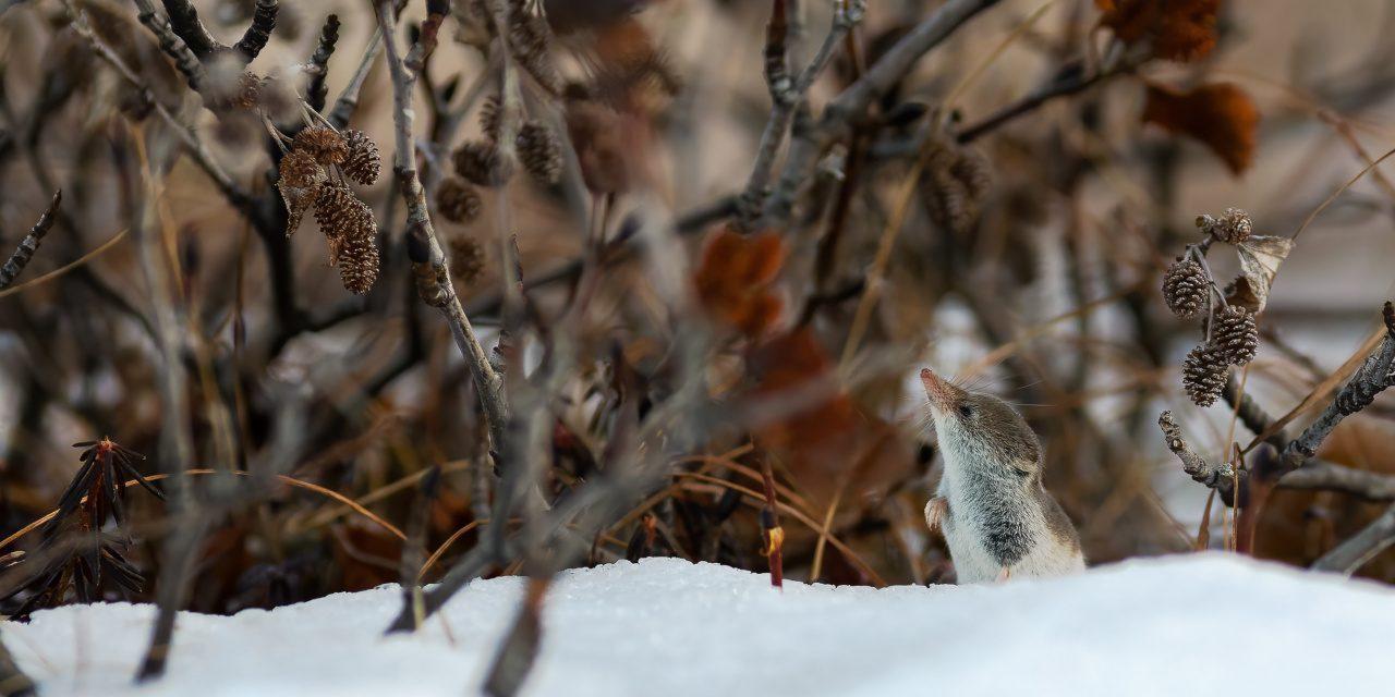 Spitzmäuse: Knirpsspitzmaus im Schnee zwischen den Büschen in der Tundra.