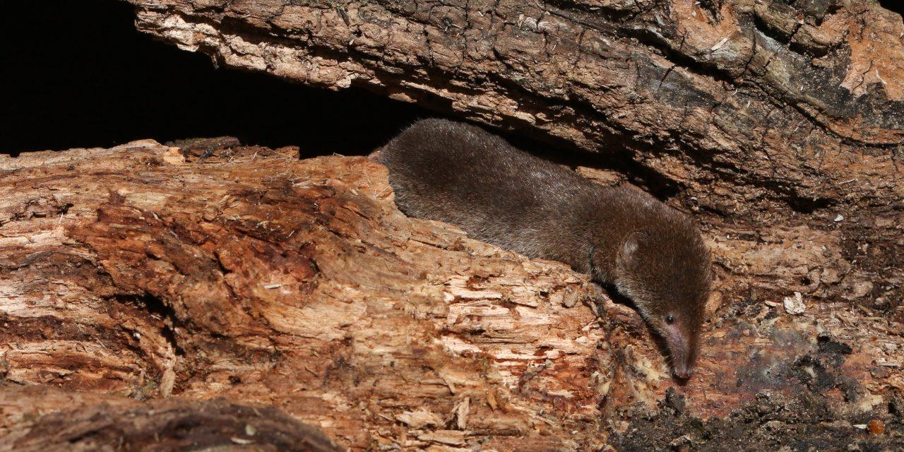 Eine schüchterne und schwer fassbare Waldspitzmaus, die in einem verfallenden Holzstapel im Wald nach Nahrung sucht.