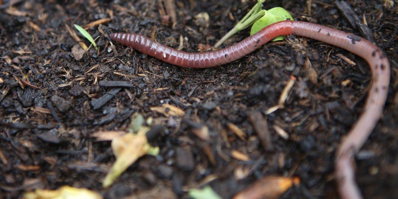 Würmer: Regenwurm in einem Gemüsebeet