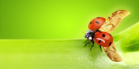 Deckflügel bei einem Marienkäfer