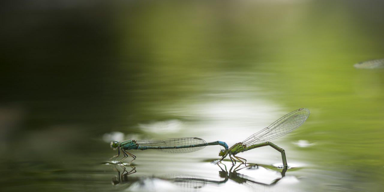 Libellen während der Fortpflanzung