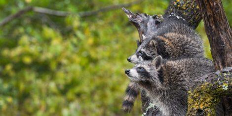 Waschbären gehören zu den Neozoen in Deutschland