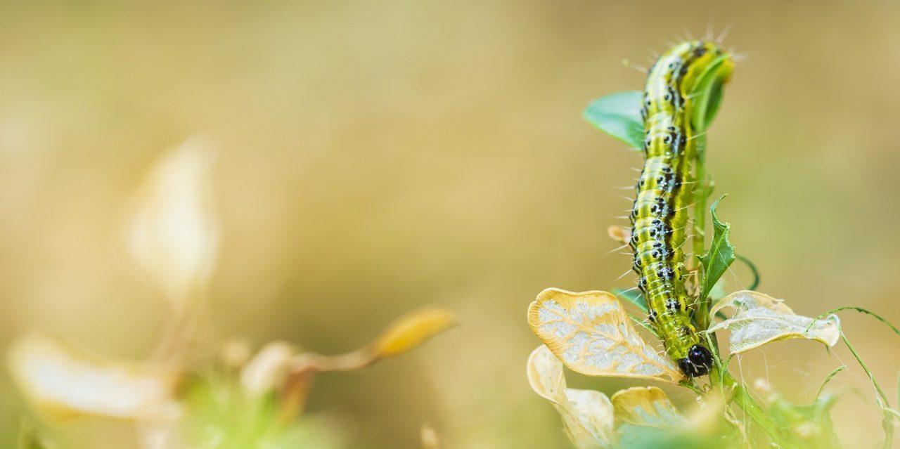 Invasive Arten: Der Buchsbaumzünsler