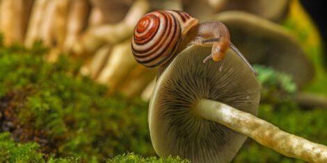 Landlungenschnecke (Garten-Bänderschnecke) auf einem Pilz