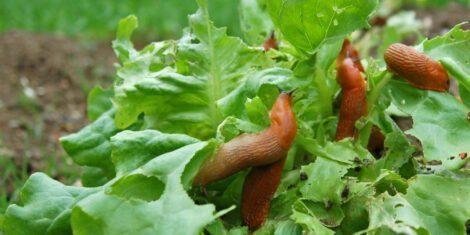 Nacktschnecken auf einem Salatkopf